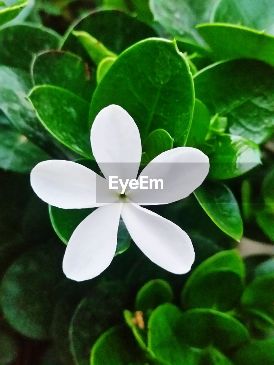 leaf, green color, white color, growth, beauty in nature, nature, plant, flower, periwinkle, close-up, fragility, no people, day, outdoors, frangipani, flower head, freshness