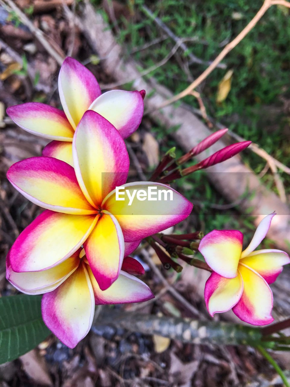 flower, petal, growth, fragility, flower head, beauty in nature, nature, pink color, outdoors, day, close-up, blooming, freshness, plant, frangipani, no people