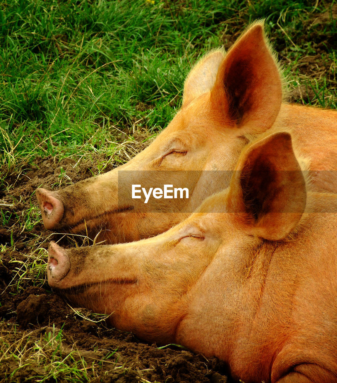 Close-up of pigs sleeping on field