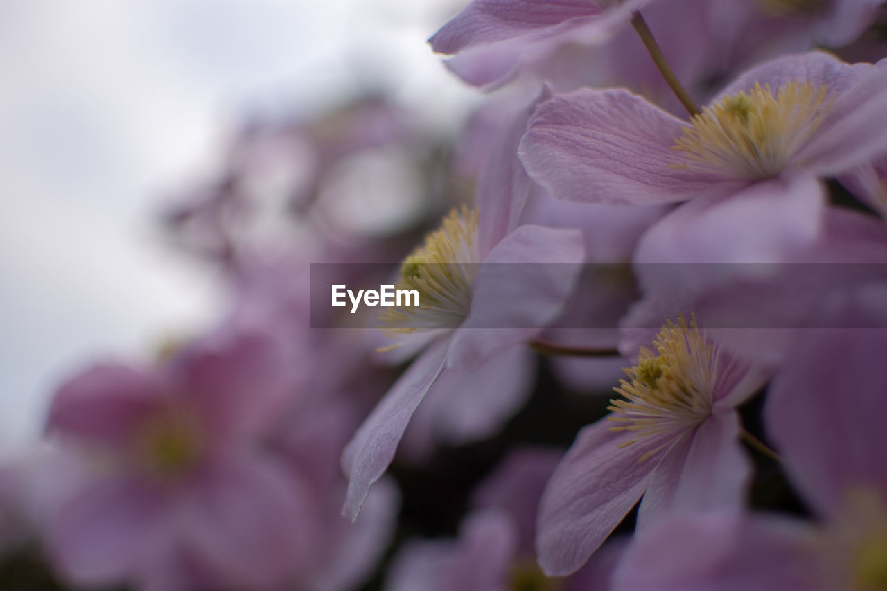flower, flowering plant, fragility, beauty in nature, vulnerability, petal, plant, freshness, growth, close-up, flower head, inflorescence, selective focus, no people, nature, pollen, white color, springtime, day, focus on foreground, purple, cherry blossom
