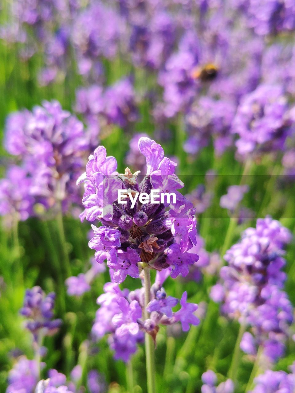 flowering plant, flower, animal, freshness, fragility, insect, invertebrate, animal themes, vulnerability, plant, beauty in nature, growth, one animal, animals in the wild, petal, animal wildlife, purple, flower head, bee, close-up, pollination, no people, lavender, bumblebee
