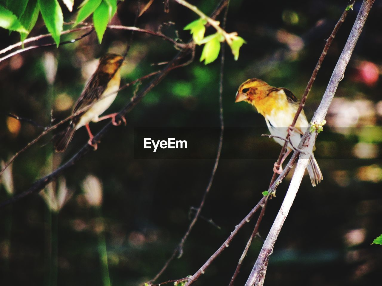 animal themes, animal wildlife, animals in the wild, bird, animal, vertebrate, one animal, tree, branch, focus on foreground, plant, perching, nature, no people, day, outdoors, close-up, songbird, looking, selective focus