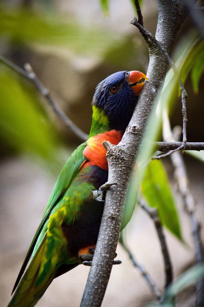 animal wildlife, animal themes, animals in the wild, vertebrate, animal, bird, perching, focus on foreground, rainbow lorikeet, one animal, parrot, branch, multi colored, day, no people, tree, close-up, outdoors, nature, plant