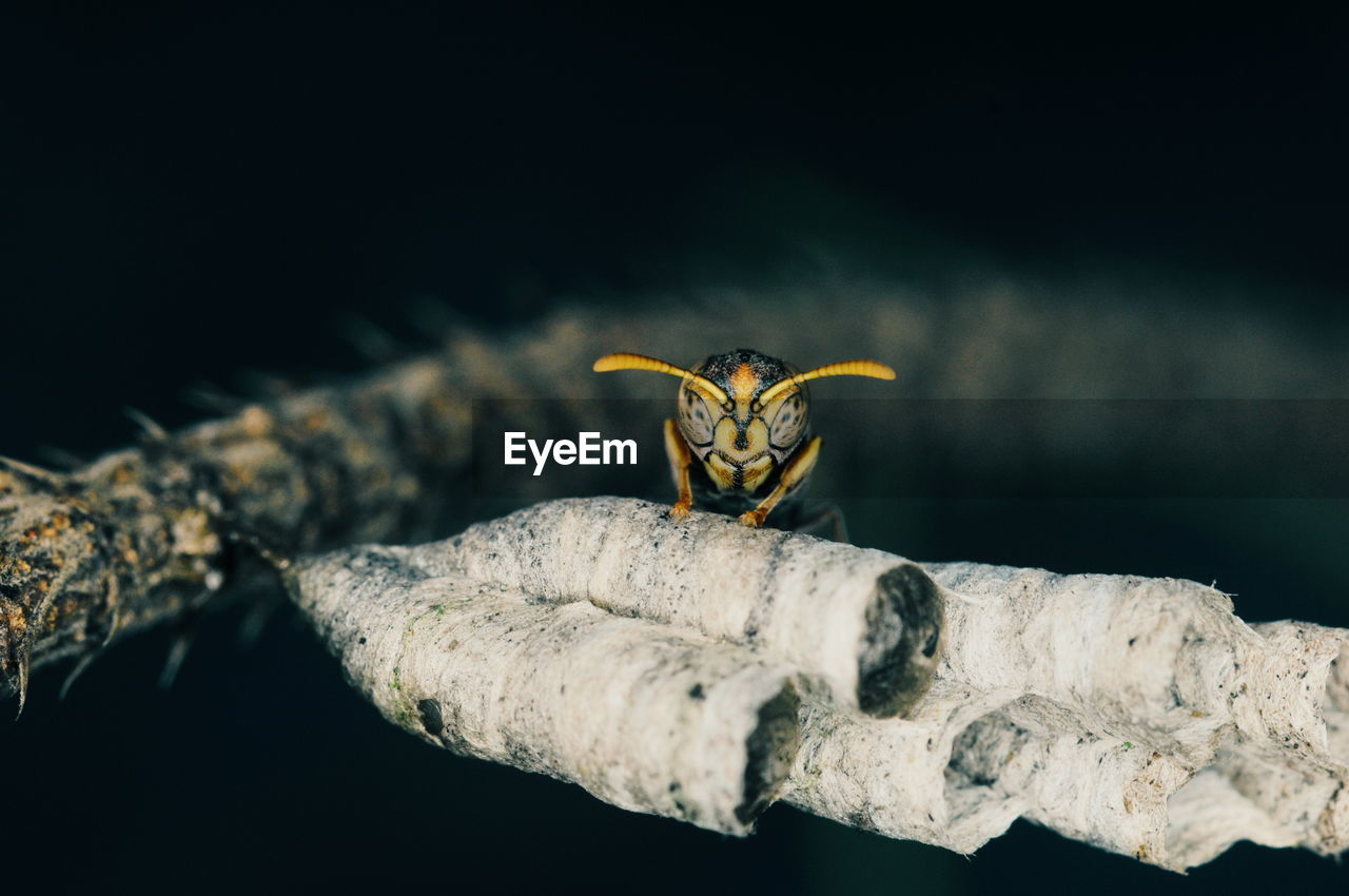 animal, animal themes, animal wildlife, one animal, animals in the wild, close-up, no people, insect, nature, invertebrate, focus on foreground, selective focus, beauty in nature, bee, day, outdoors, wasp, branch, zoology, vertebrate, black background