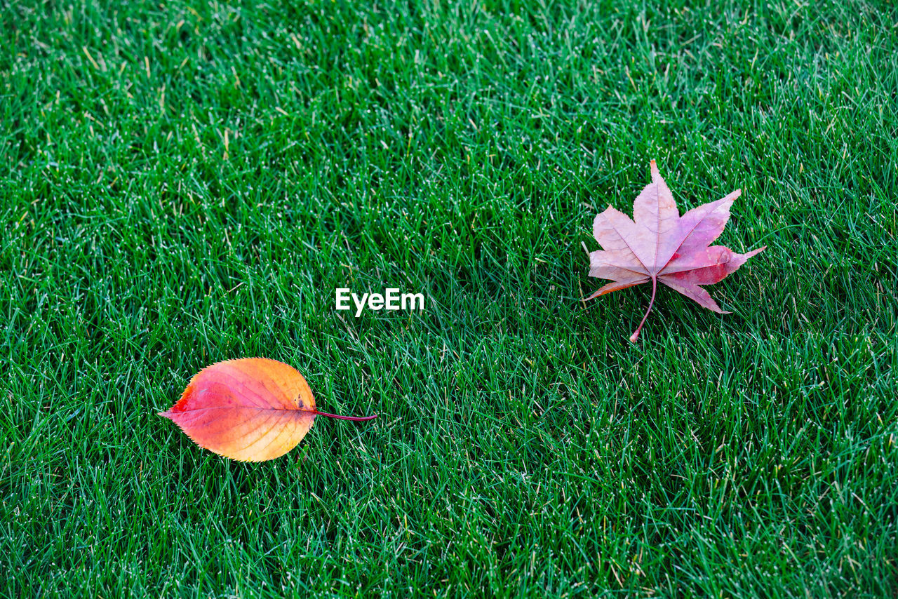 plant, grass, green color, growth, nature, land, field, plant part, beauty in nature, leaf, autumn, high angle view, day, no people, vulnerability, close-up, fragility, freshness, change, outdoors, maple leaf, flower head, leaves, flower, natural condition