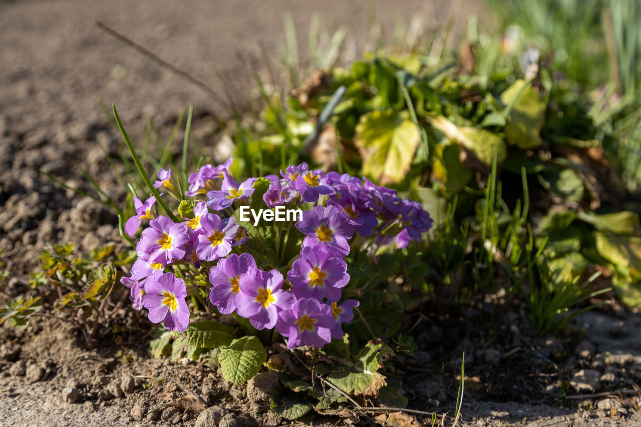 CLOSE-UP OF PURPLE FLOWERING PLANTS IN LAND