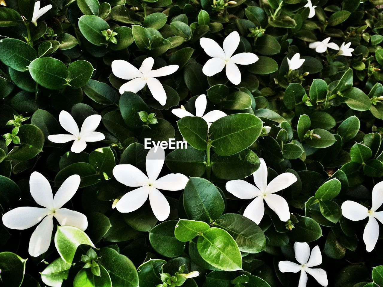 HIGH ANGLE VIEW OF WHITE FLOWERING PLANTS AND LEAVES