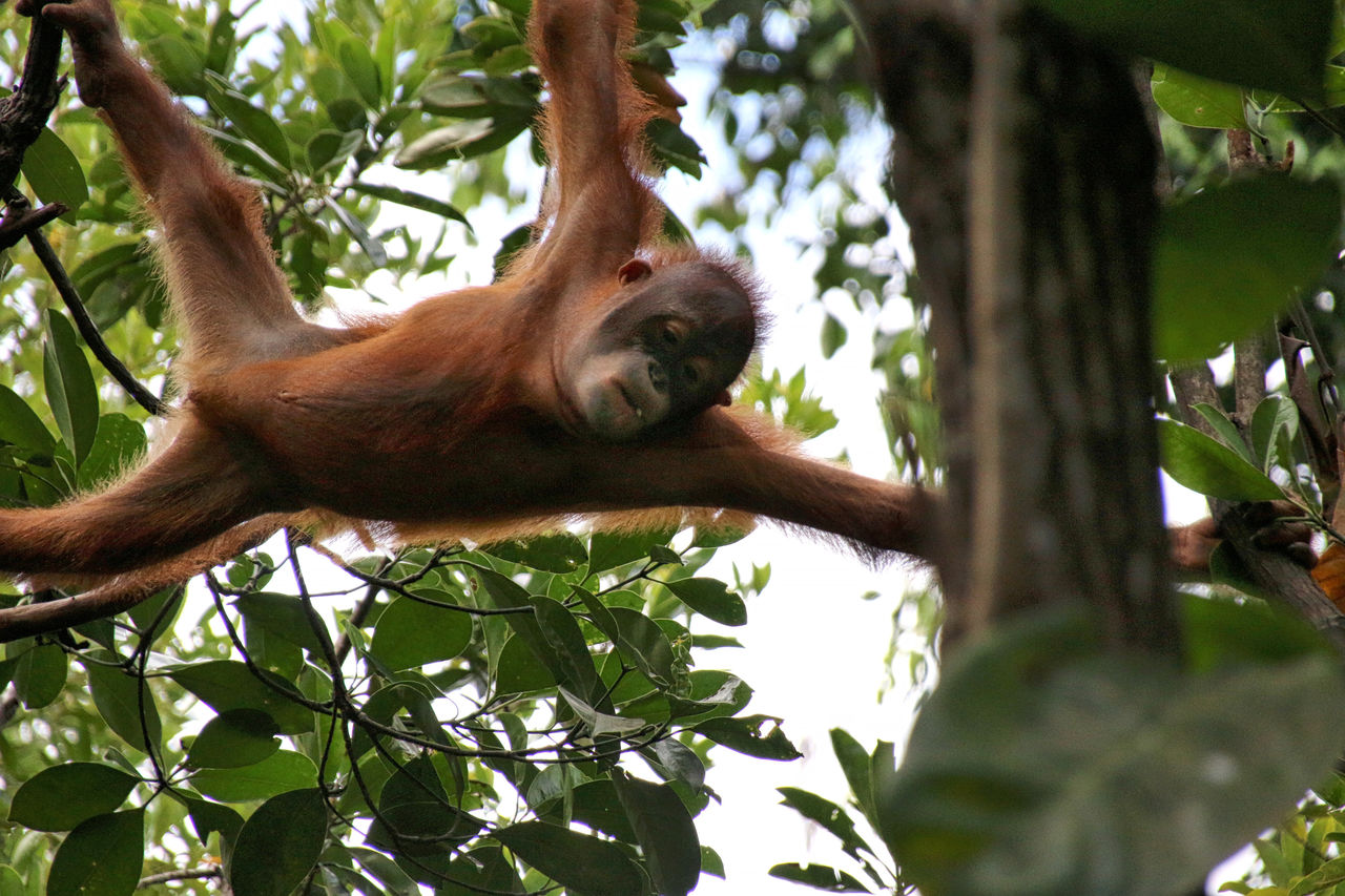 Low angle view of orangutan in forest