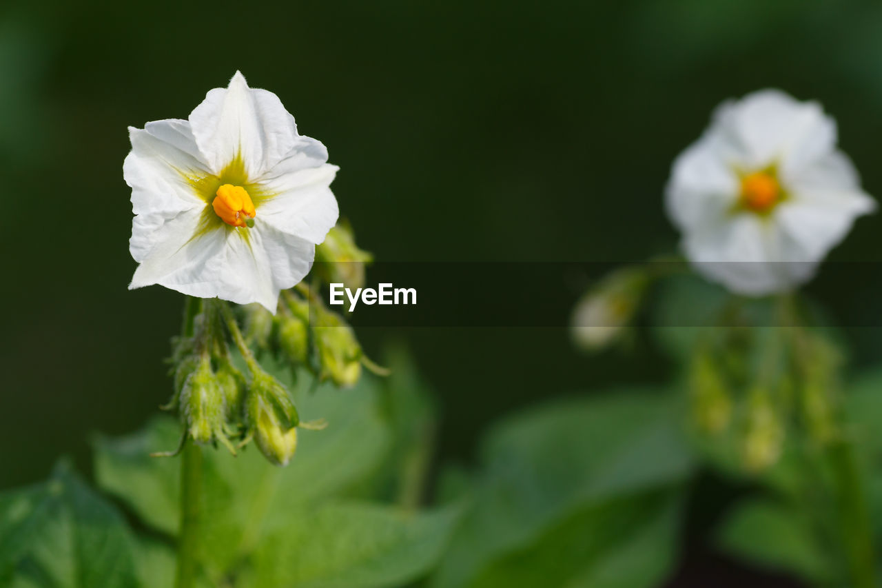 flowering plant, beauty in nature, fragility, petal, flower, freshness, vulnerability, plant, close-up, inflorescence, flower head, white color, nature, growth, no people, yellow, green color, outdoors, day, leaf, pollen
