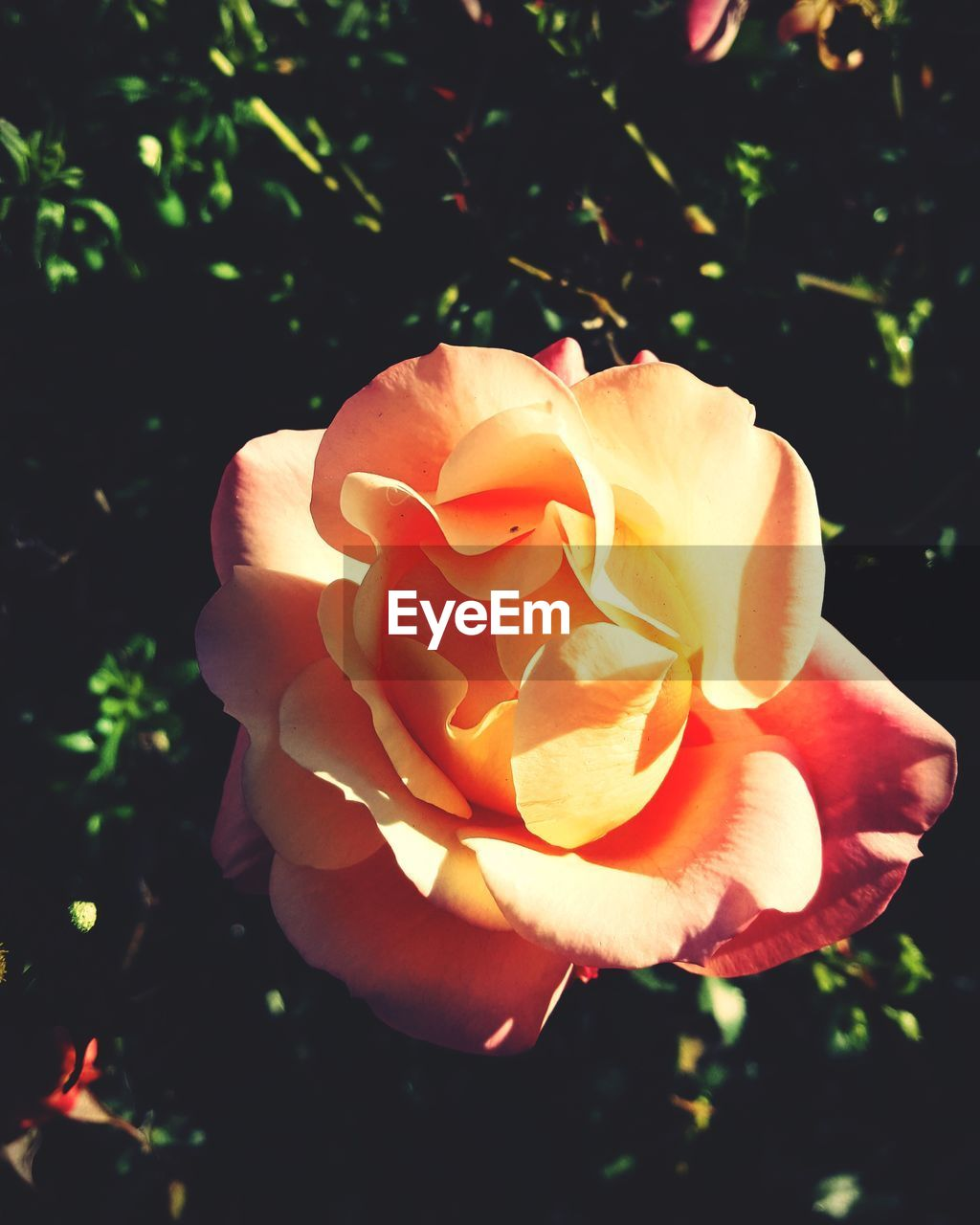 flower, petal, nature, beauty in nature, growth, flower head, plant, freshness, rose - flower, blooming, fragility, outdoors, no people, close-up, day