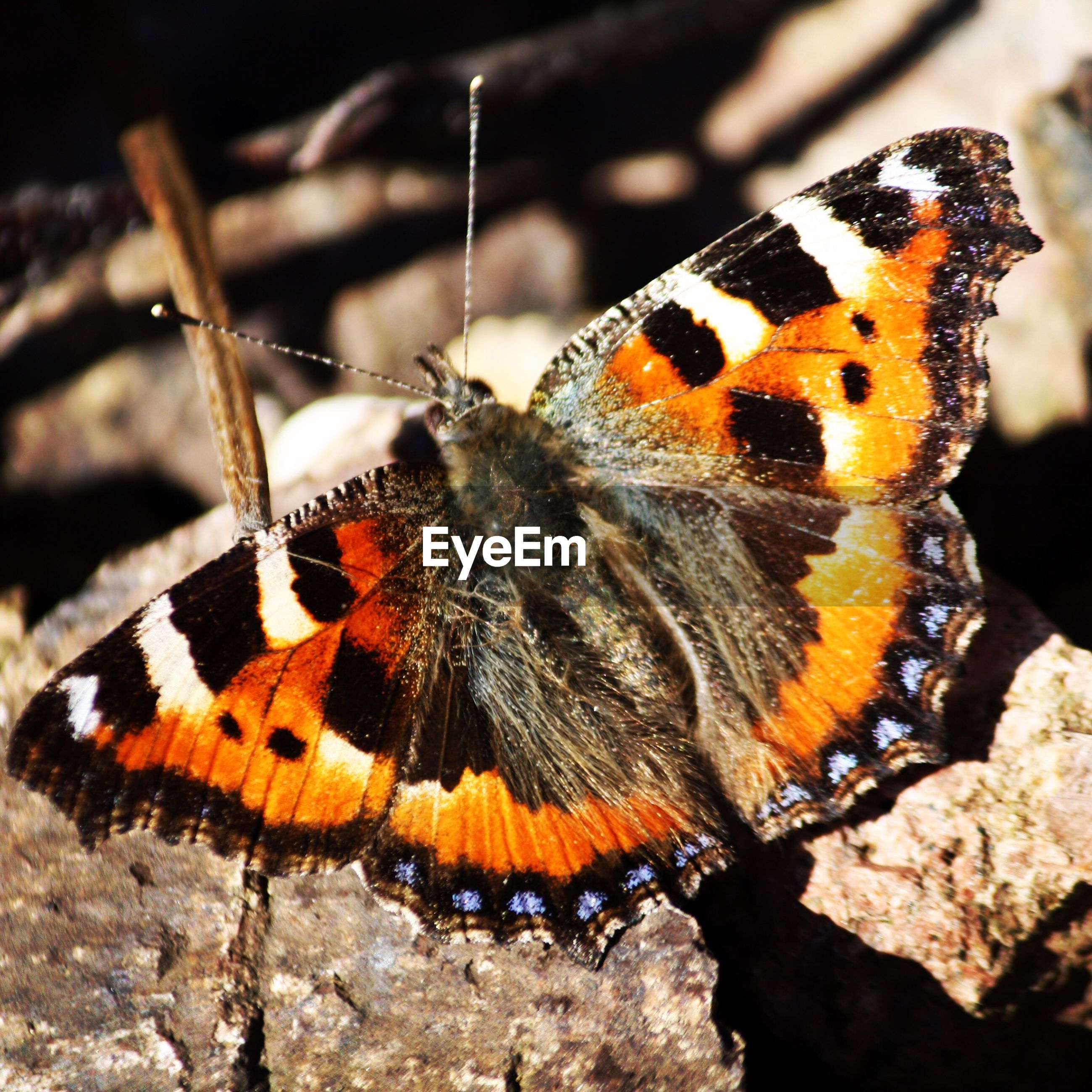 animal themes, animals in the wild, insect, one animal, wildlife, animal markings, butterfly - insect, animal wing, butterfly, natural pattern, close-up, focus on foreground, animal antenna, nature, beauty in nature, outdoors, zoology, full length, day, high angle view
