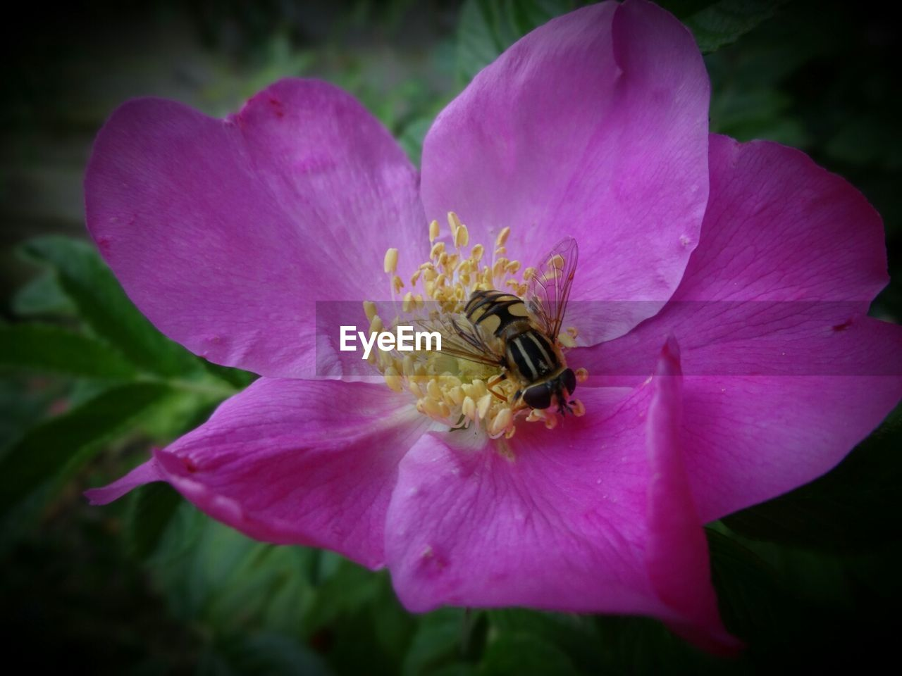 Close-up of fly pollinating on pink flower in park