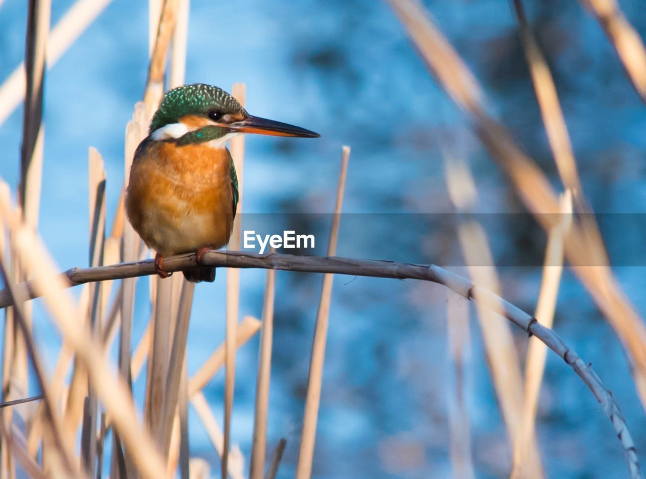 one animal, animals in the wild, animal themes, animal wildlife, bird, focus on foreground, kingfisher, perching, nature, day, no people, outdoors, beauty in nature, beak, close-up