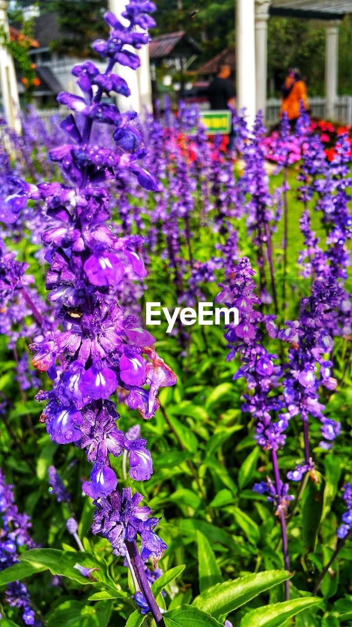 flowering plant, flower, plant, freshness, purple, growth, beauty in nature, fragility, vulnerability, close-up, focus on foreground, nature, petal, day, inflorescence, no people, springtime, botany, flower head, selective focus, spring, lilac