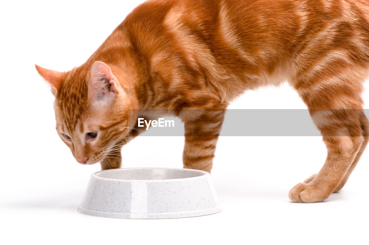 feline, cat, mammal, animal, pets, animal themes, domestic, domestic animals, domestic cat, one animal, vertebrate, studio shot, no people, white background, indoors, close-up, looking, brown, looking away, orange color, ginger cat, whisker
