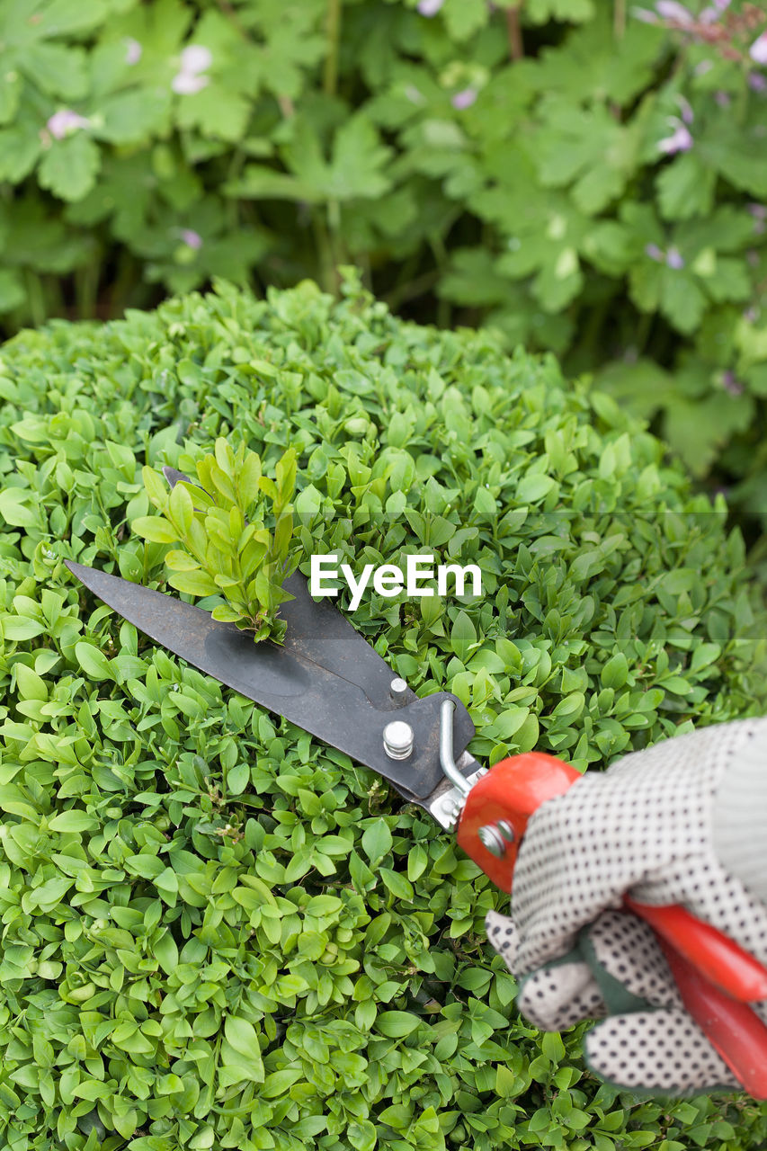 green color, plant, food and drink, growth, freshness, leaf, food, vegetable, plant part, one person, high angle view, healthy eating, day, wellbeing, gardening, nature, work tool, kitchen knife, real people, gardening equipment