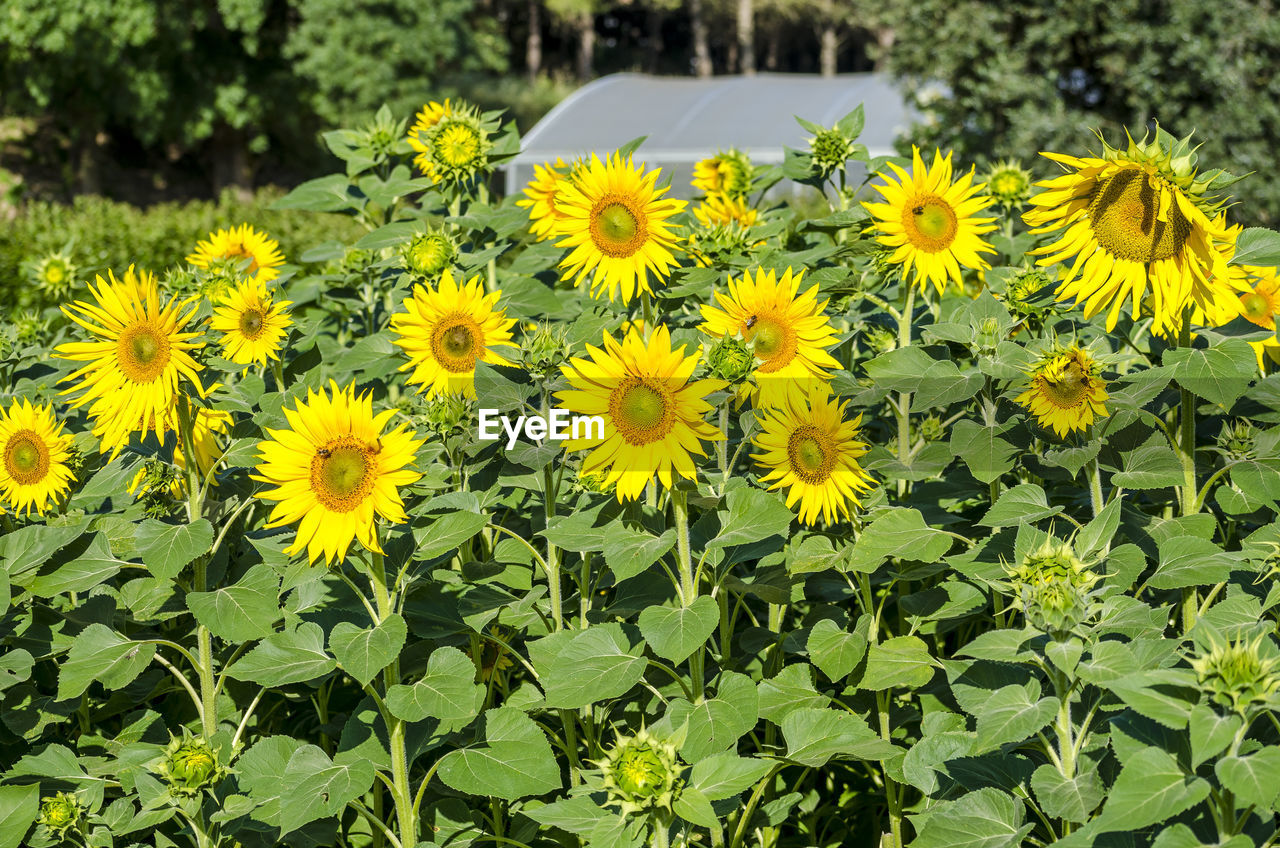 flower, yellow, growth, plant, nature, petal, beauty in nature, fragility, field, blooming, day, outdoors, flower head, no people, freshness, leaf, close-up, animal themes, black-eyed susan