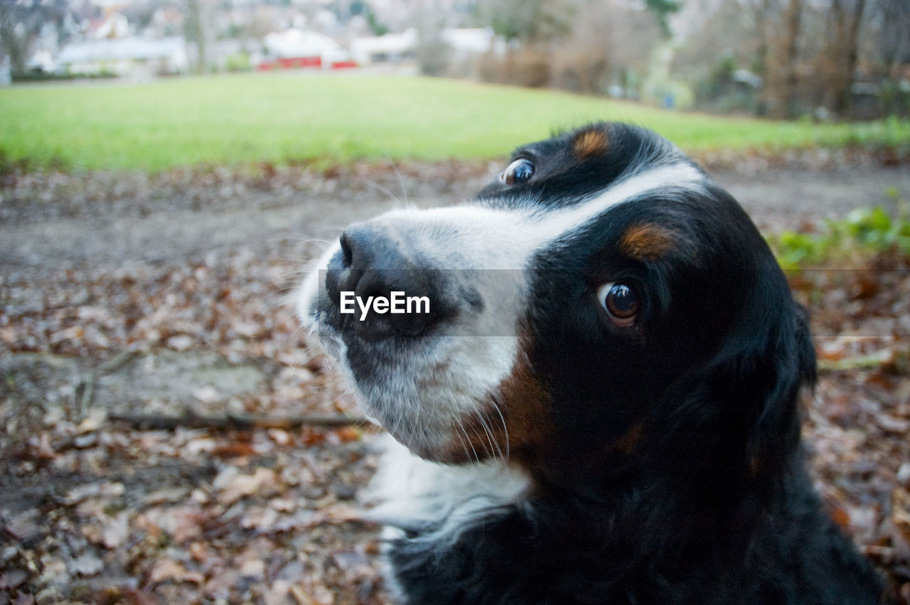 Close-Up Of Greater Swiss Mountain Dog In Park