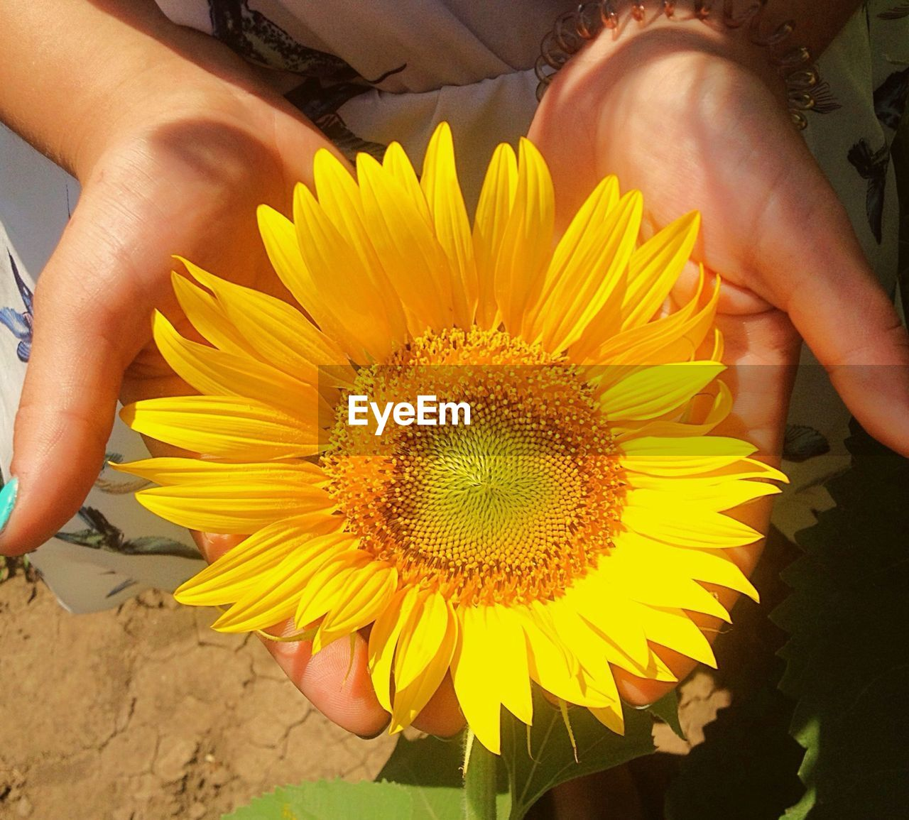 flower, yellow, petal, real people, human hand, human body part, one person, beauty in nature, fragility, freshness, nature, flower head, outdoors, holding, sunflower, day, lifestyles, women, plant, close-up, blooming, people