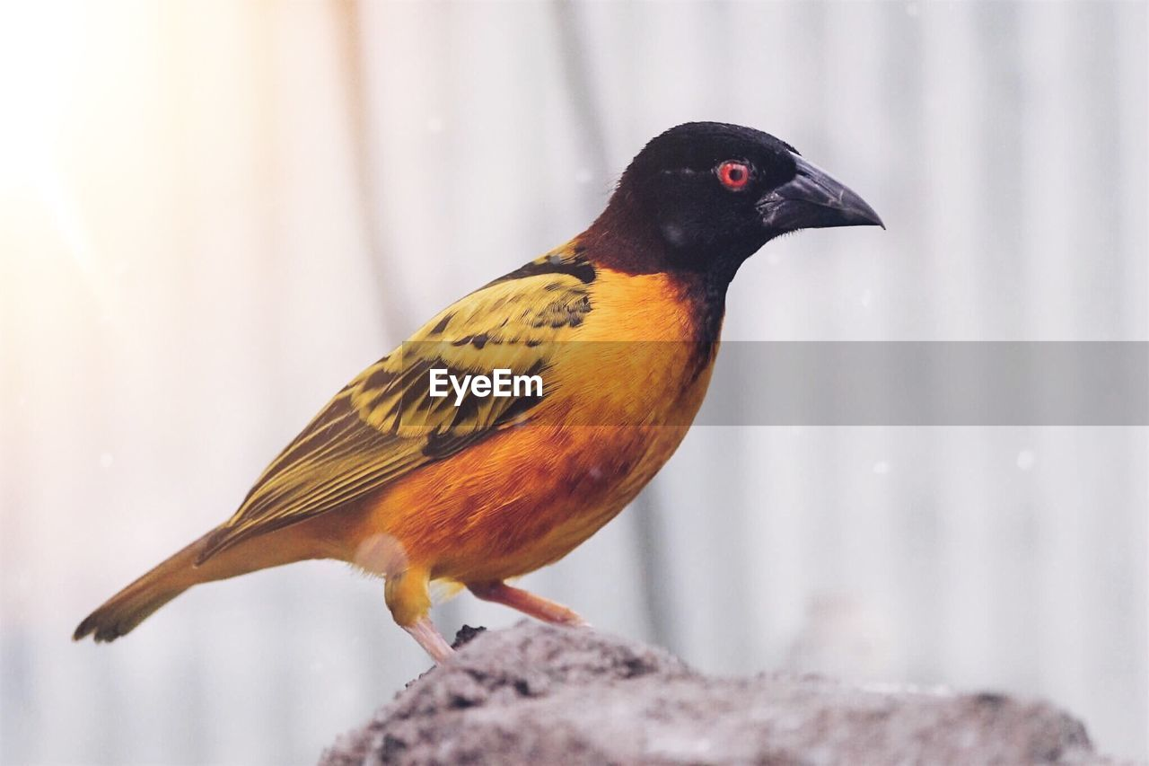 animal themes, one animal, bird, animal, vertebrate, animal wildlife, animals in the wild, close-up, focus on foreground, perching, no people, day, nature, outdoors, beak, robin, selective focus, side view, orange color, black color