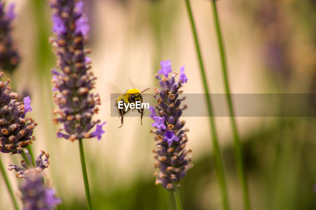 flowering plant, flower, insect, fragility, invertebrate, beauty in nature, animals in the wild, animal themes, vulnerability, bee, plant, freshness, animal, animal wildlife, petal, one animal, flower head, growth, pollination, close-up, purple, no people, lavender