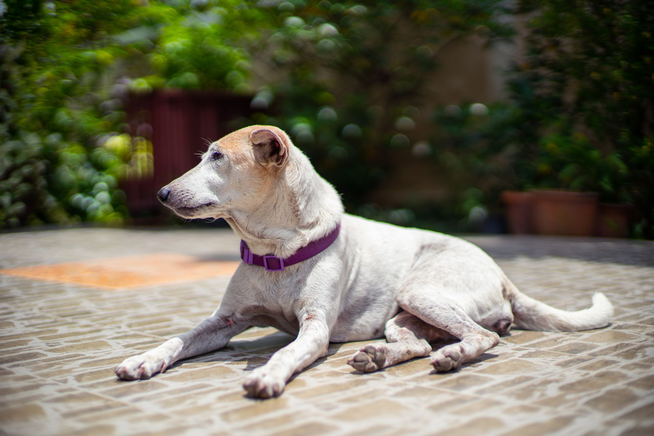 dog, canine, domestic animals, mammal, animal themes, domestic, pets, animal, one animal, vertebrate, looking away, focus on foreground, looking, relaxation, collar, sitting, no people, day, pet collar, lying down, jack russell terrier