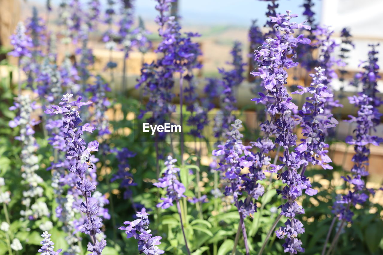 flowering plant, flower, plant, vulnerability, freshness, fragility, purple, beauty in nature, growth, lavender, close-up, nature, selective focus, no people, lavender colored, day, petal, focus on foreground, plant stem, outdoors, flower head