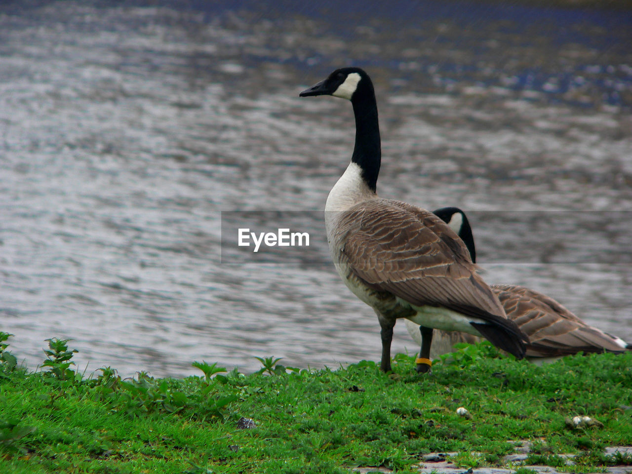 animals in the wild, animal wildlife, bird, animal themes, animal, vertebrate, goose, one animal, water, nature, canada goose, no people, land, grass, day, plant, lake, beach, water bird