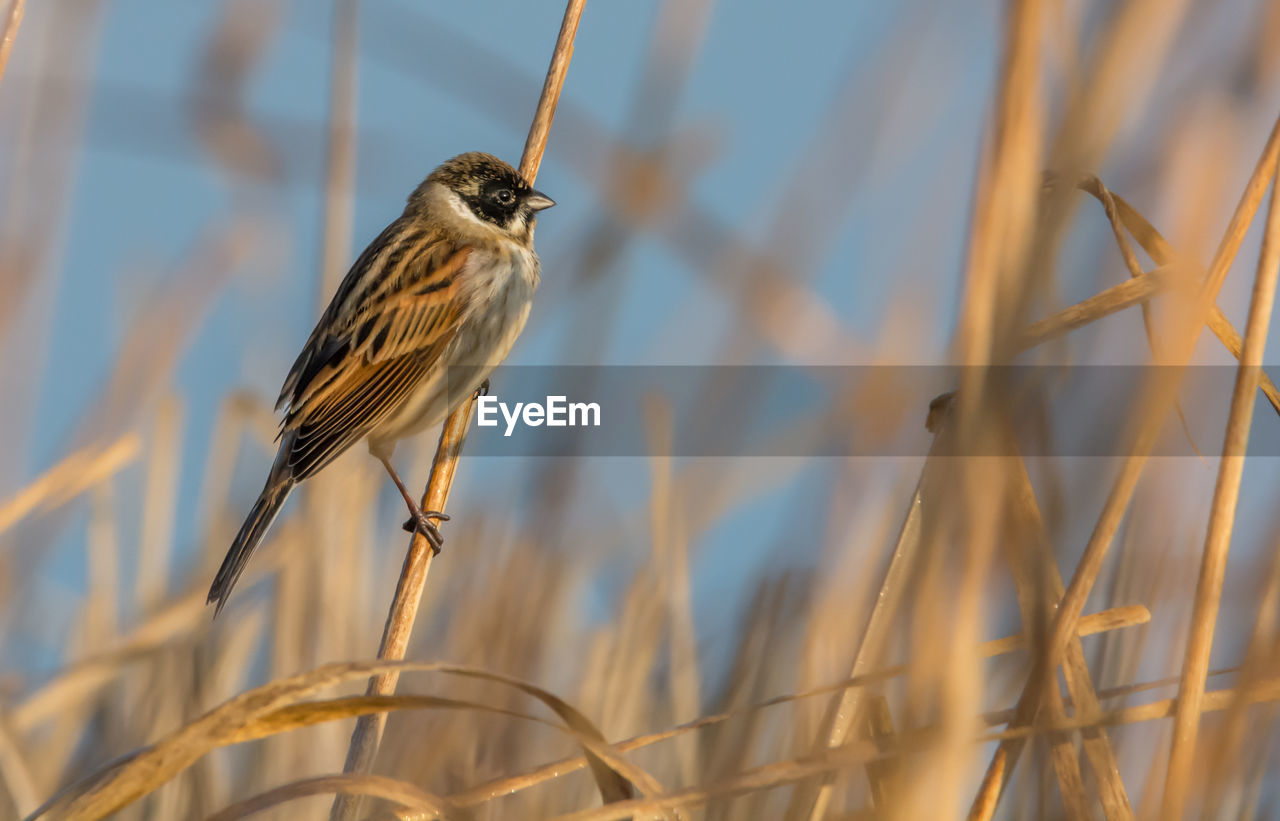 bird, one animal, vertebrate, animal themes, animal, animal wildlife, perching, animals in the wild, no people, plant, selective focus, nature, day, close-up, focus on foreground, sparrow, outdoors, beauty in nature, brown, songbird