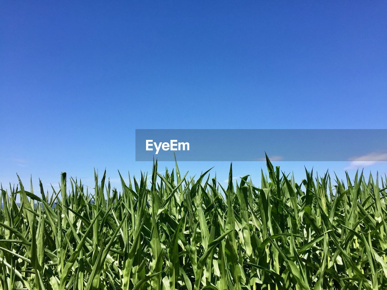 sky, plant, growth, field, green color, agriculture, crop, nature, blue, land, copy space, corn, clear sky, cereal plant, rural scene, landscape, farm, no people, day, beauty in nature, corn - crop, outdoors, plantation