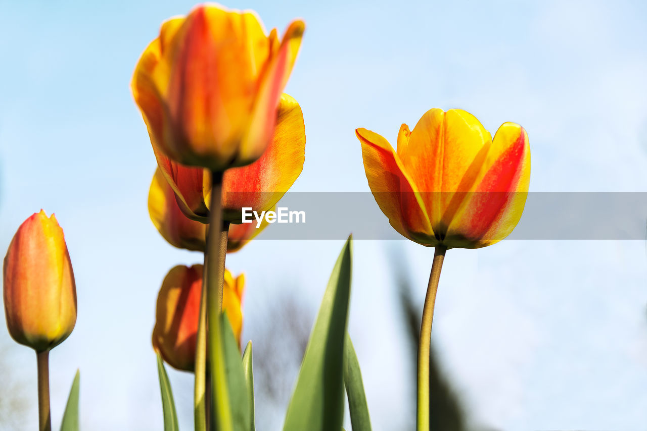 flowering plant, flower, vulnerability, fragility, plant, beauty in nature, freshness, petal, growth, close-up, inflorescence, flower head, nature, sky, plant stem, focus on foreground, no people, yellow, day, orange color, tulip, outdoors, sepal, blue background