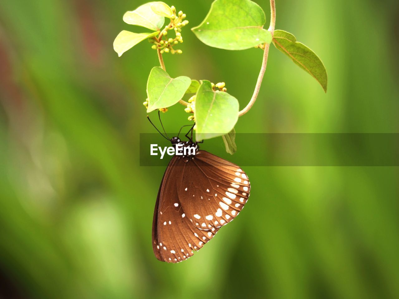 invertebrate, animal wildlife, insect, one animal, animal, animal themes, animals in the wild, animal wing, plant part, close-up, leaf, butterfly - insect, beauty in nature, focus on foreground, plant, no people, nature, day, green color, growth, butterfly, outdoors, pollination, leaves