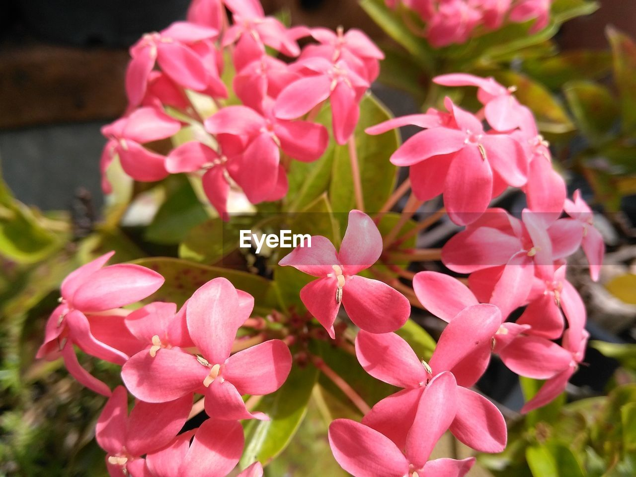 flower, pink color, petal, growth, nature, plant, beauty in nature, flower head, fragility, outdoors, blooming, no people, freshness, day, close-up, periwinkle