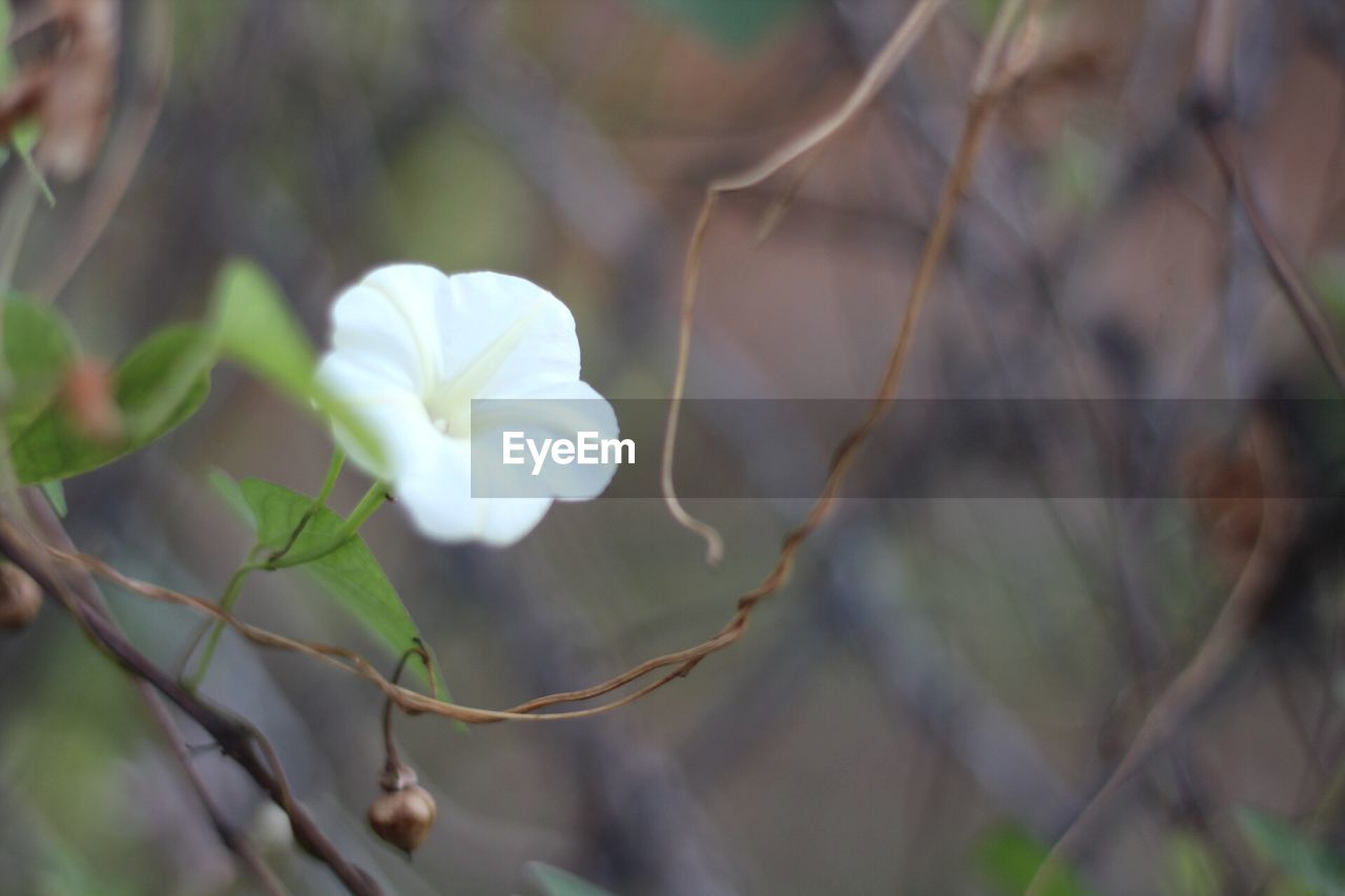 flower, growth, nature, fragility, beauty in nature, petal, white color, plant, freshness, day, focus on foreground, blooming, outdoors, close-up, flower head, no people
