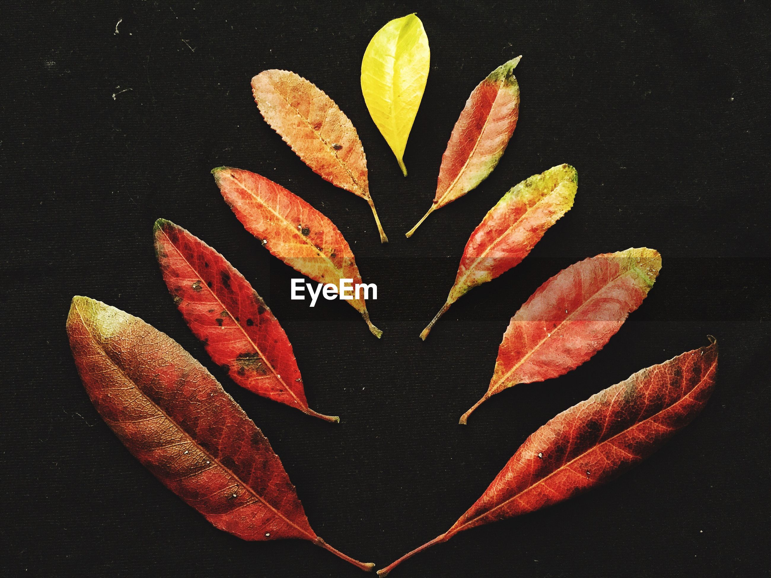 Close-up of autumn leaves against black background