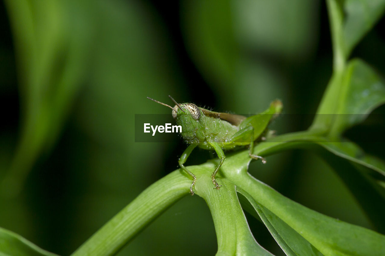 green color, invertebrate, insect, animals in the wild, animal wildlife, one animal, close-up, animal themes, plant, plant part, leaf, animal, nature, growth, focus on foreground, no people, grasshopper, day, animal antenna, outdoors, blade of grass