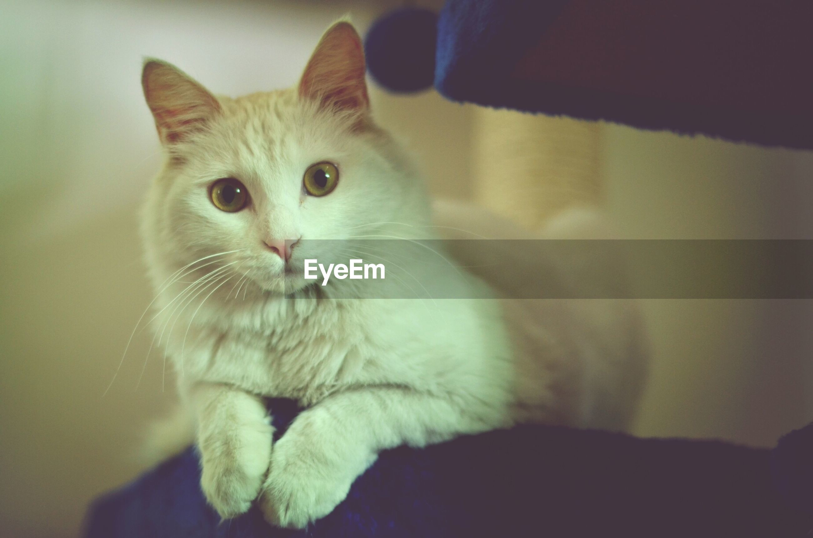 domestic cat, pets, one animal, animal themes, cat, domestic animals, mammal, feline, portrait, whisker, looking at camera, indoors, focus on foreground, close-up, alertness, sitting, staring, front view, selective focus