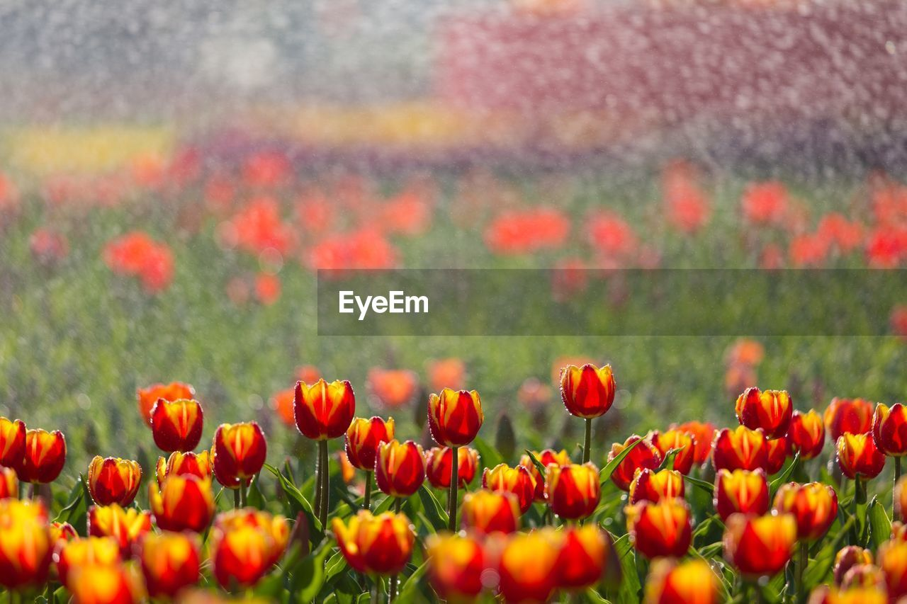 flower, flowering plant, plant, growth, beauty in nature, fragility, vulnerability, freshness, field, close-up, land, no people, tulip, nature, orange color, selective focus, red, flower head, day, petal, outdoors, flowerbed, springtime