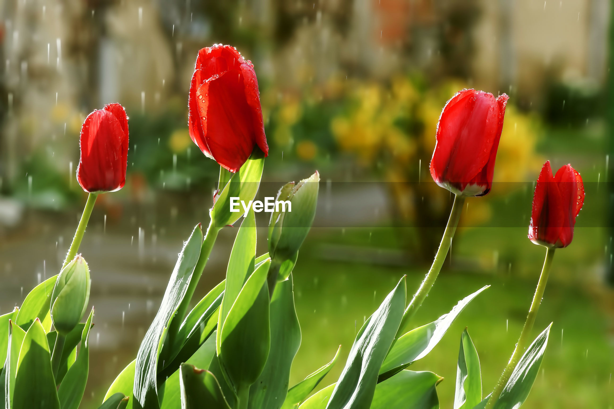 CLOSE-UP OF RED TULIPS ON LAND