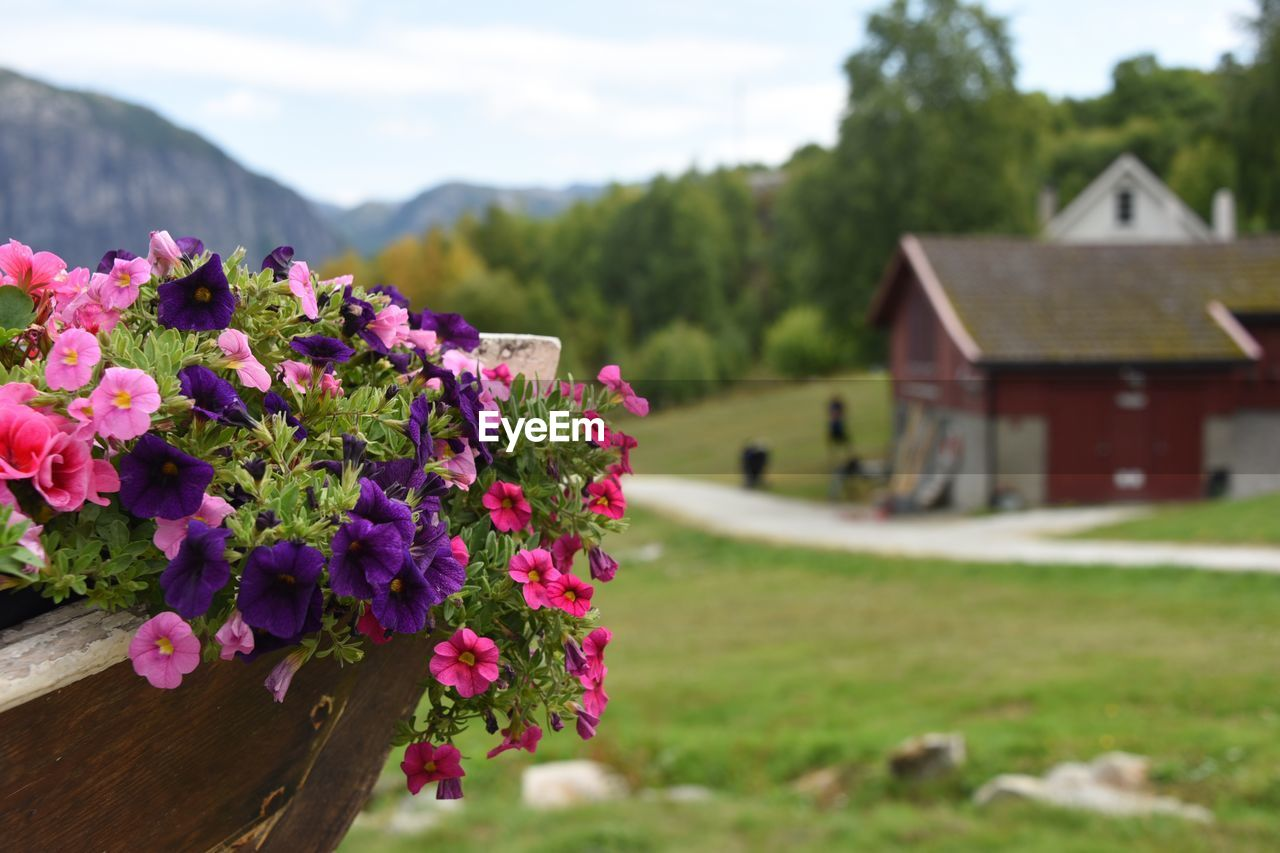 flowering plant, flower, plant, beauty in nature, focus on foreground, built structure, freshness, nature, architecture, growth, day, pink color, close-up, building exterior, vulnerability, house, building, fragility, outdoors, landscape, no people, flower head
