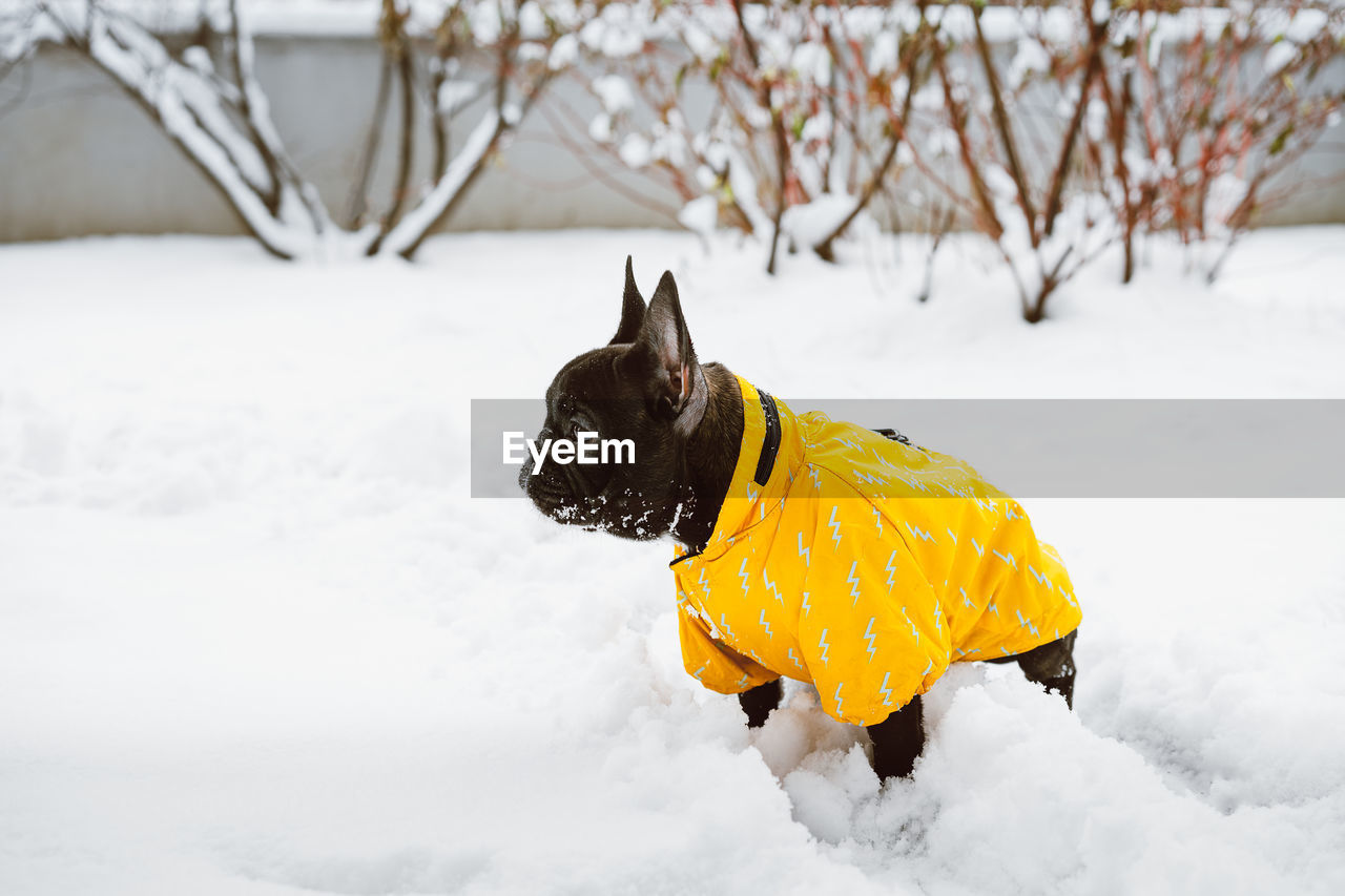one animal, domestic animals, animal themes, animal, cold temperature, domestic, winter, snow, mammal, dog, canine, pets, vertebrate, white color, no people, pet clothing, field, nature, yellow, small, purebred dog