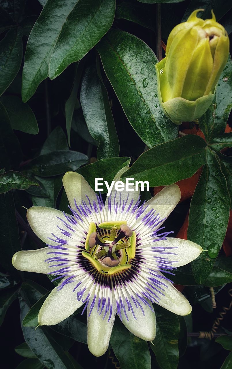 flower, flowering plant, plant, growth, fragility, flower head, vulnerability, petal, beauty in nature, freshness, inflorescence, close-up, plant part, leaf, passion flower, pollen, no people, nature, green color, purple