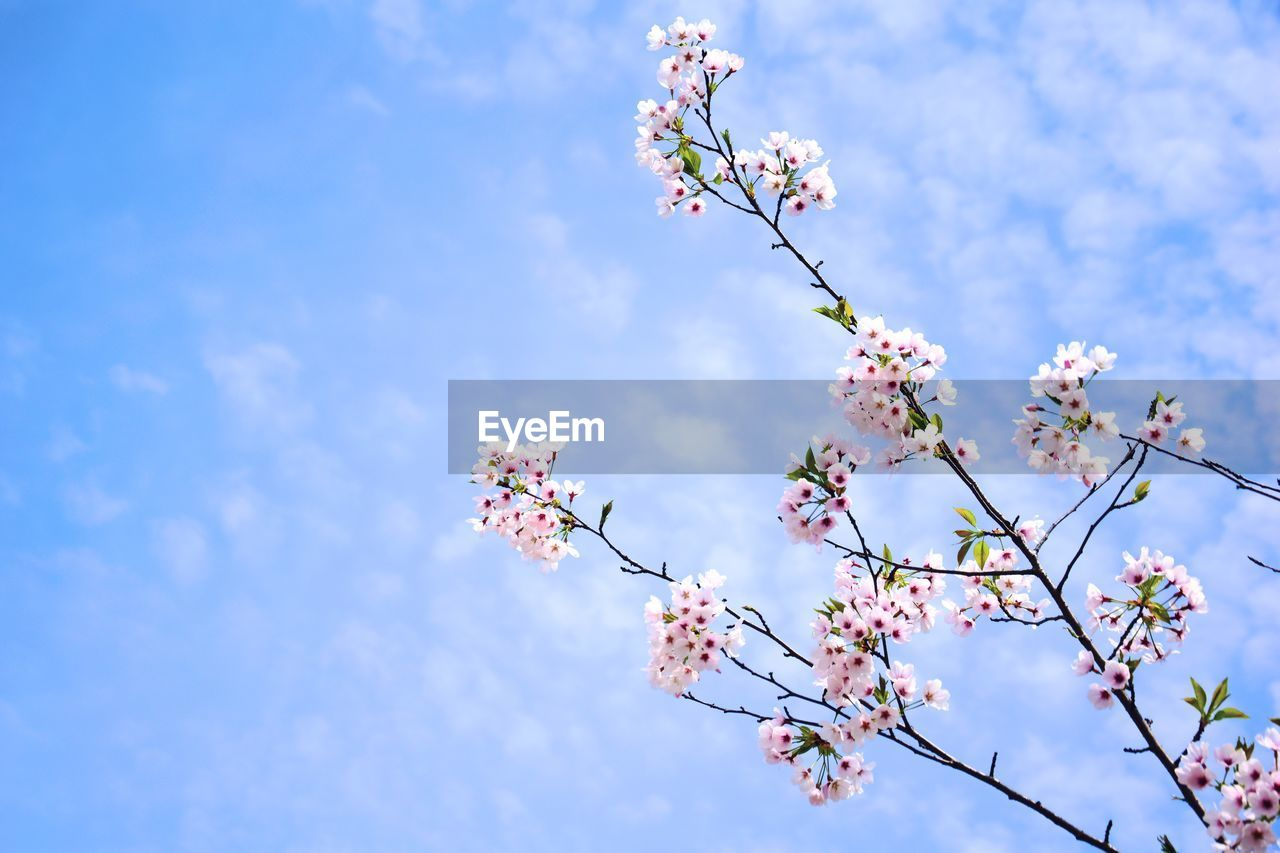flower, flowering plant, plant, fragility, freshness, low angle view, beauty in nature, growth, vulnerability, sky, tree, blossom, nature, branch, springtime, pink color, day, no people, cherry blossom, cloud - sky, flower head, cherry tree, outdoors, bunch of flowers, spring