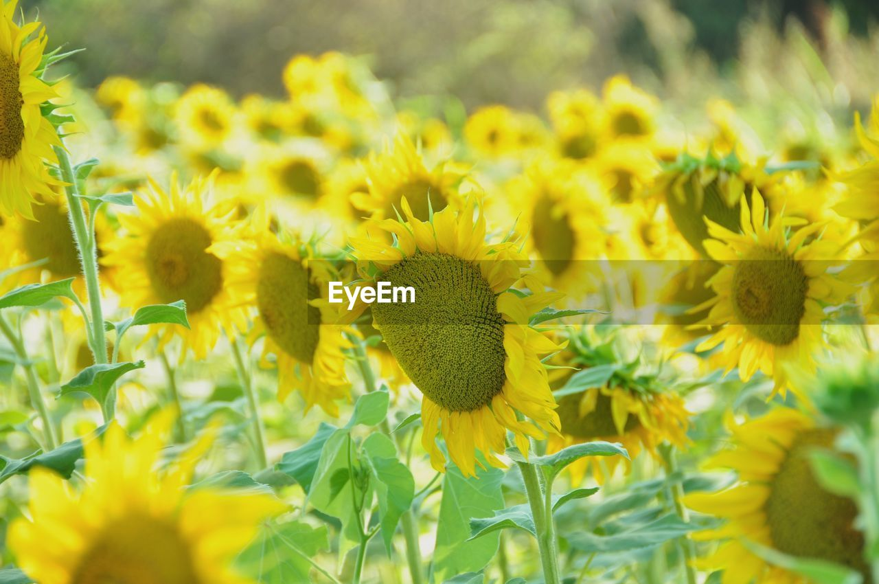 yellow, flowering plant, flower, freshness, growth, plant, fragility, beauty in nature, vulnerability, close-up, flower head, petal, selective focus, nature, day, field, inflorescence, land, no people, sunflower, outdoors, pollen