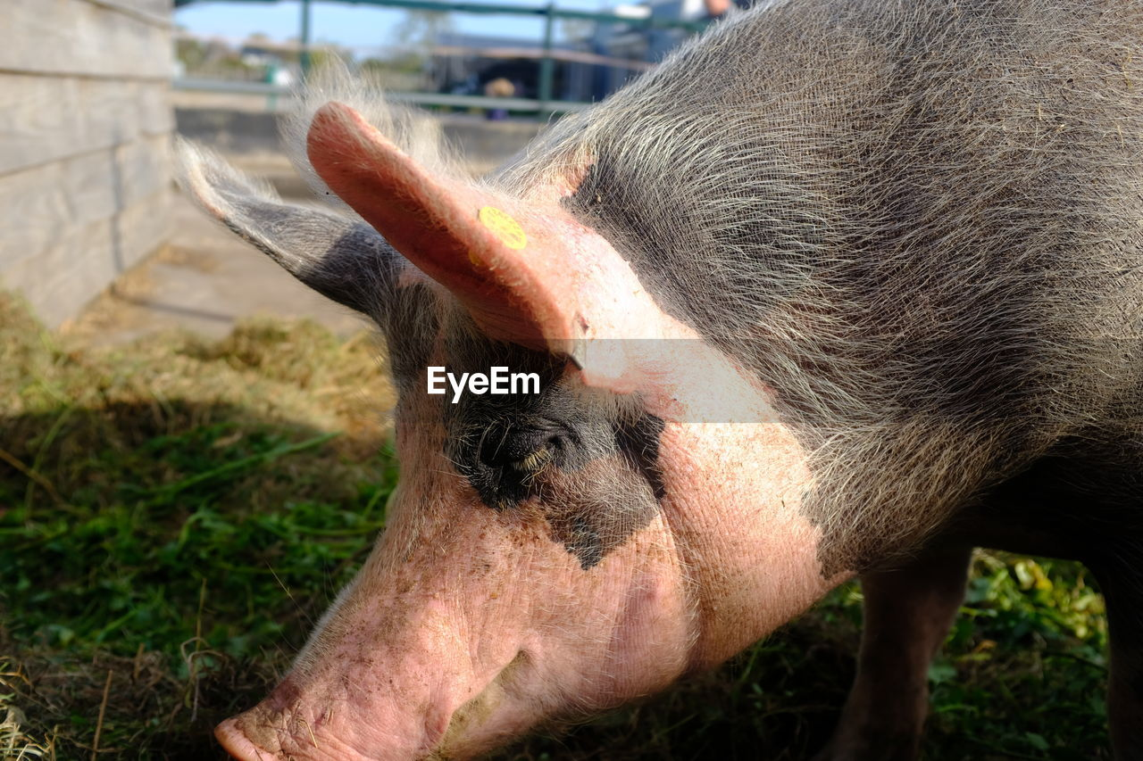 animal themes, mammal, animal, one animal, livestock, domestic animals, vertebrate, animal body part, close-up, day, domestic, pets, focus on foreground, pig, nature, animal head, no people, herbivorous, animal wildlife, field, outdoors, animal nose, animal mouth, snout