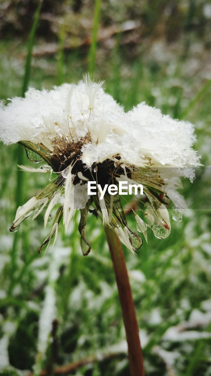 white color, nature, close-up, flower, focus on foreground, fragility, day, plant, no people, outdoors, growth, beauty in nature, freshness, animal themes, flower head