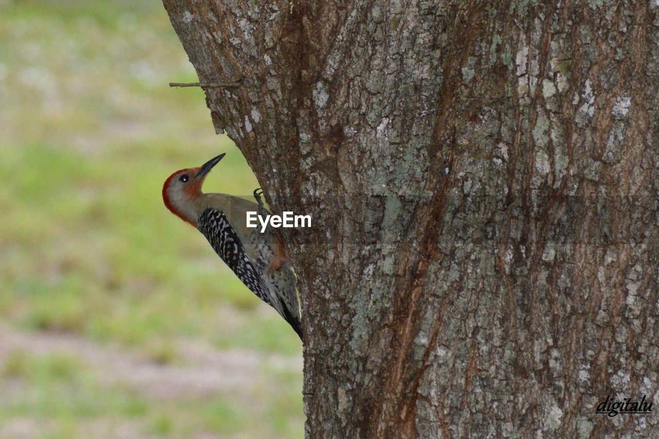 Red-headed woodpecker perching on tree trunk