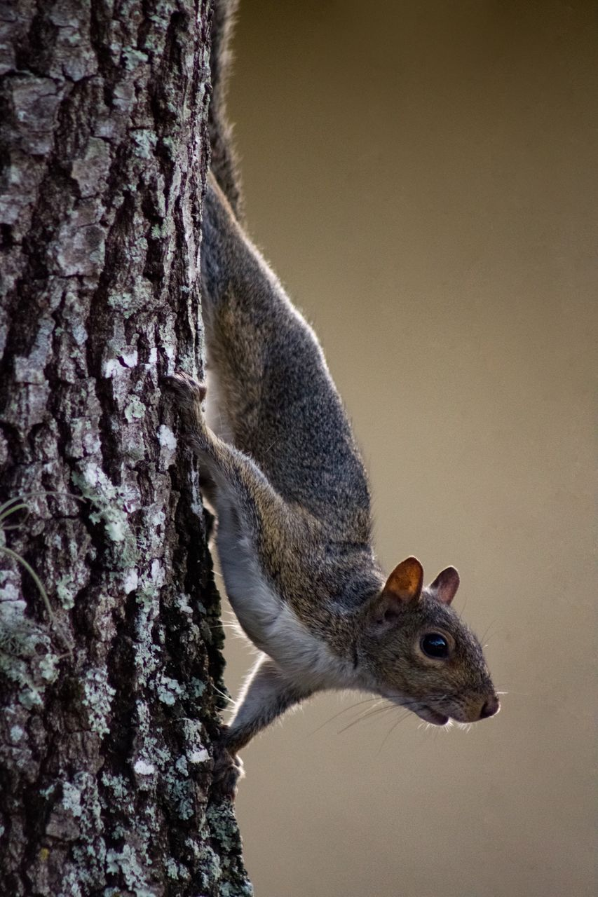animal themes, animal, trunk, tree trunk, tree, one animal, animal wildlife, animals in the wild, rodent, mammal, squirrel, nature, plant, close-up, no people, vertebrate, focus on foreground, day, outdoors, side view, whisker
