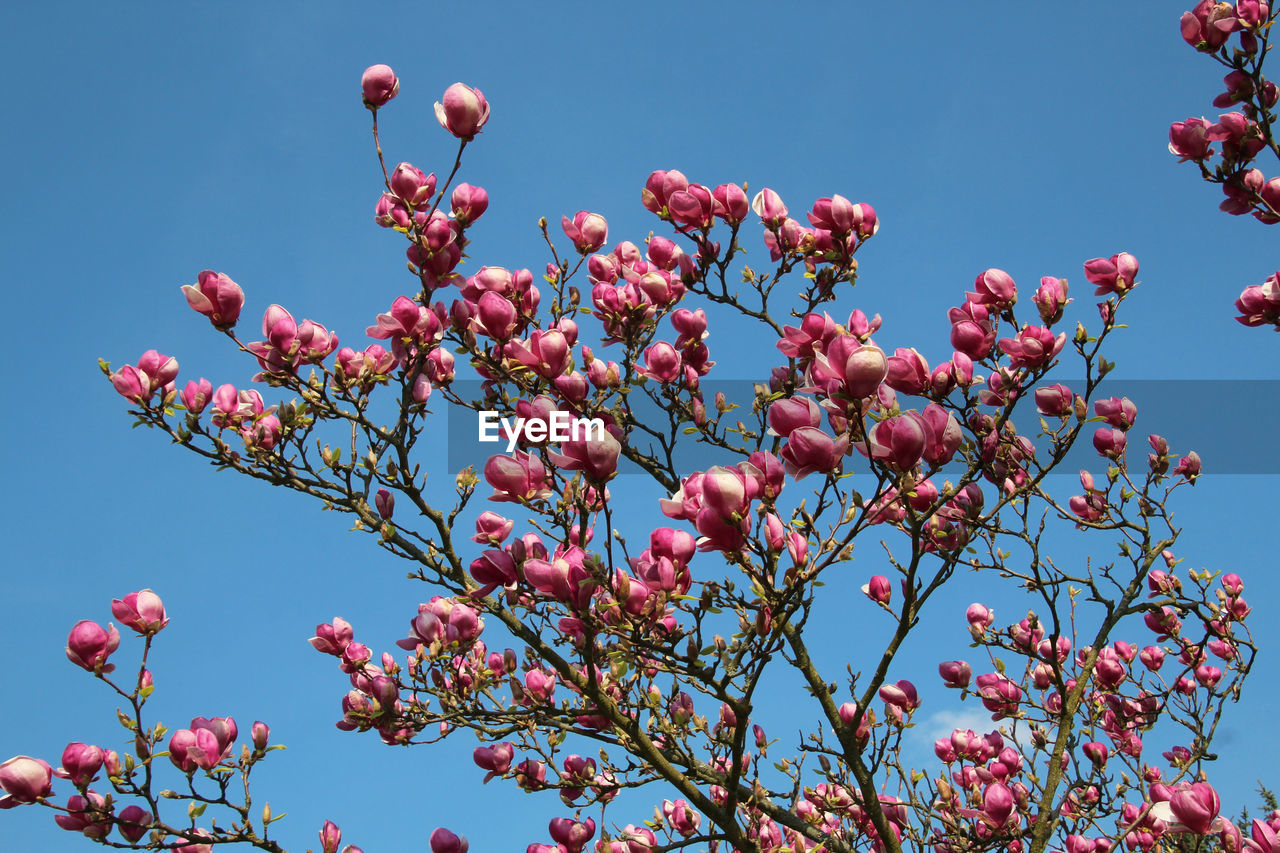 growth, plant, flower, flowering plant, pink color, low angle view, freshness, nature, beauty in nature, no people, sky, day, tree, close-up, blue, clear sky, branch, fruit, food, focus on foreground, outdoors, rowanberry