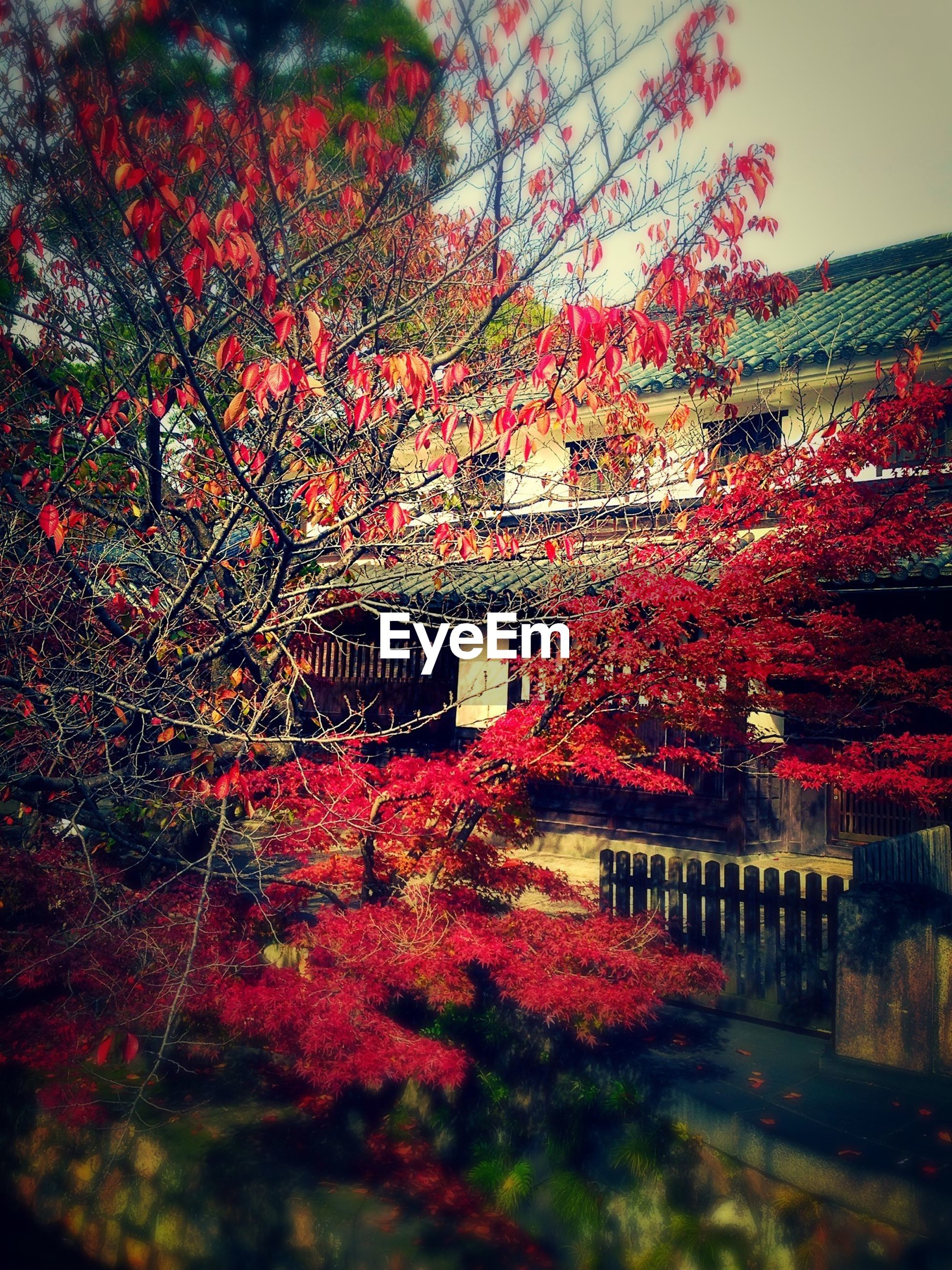 tree, red, flower, built structure, growth, architecture, beauty in nature, nature, season, autumn, change, branch, tranquility, building exterior, railing, day, park - man made space, blossom, outdoors, freshness
